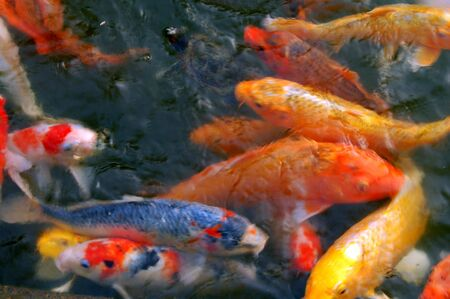 Colorful Koi Fishes swimming in a pond photo