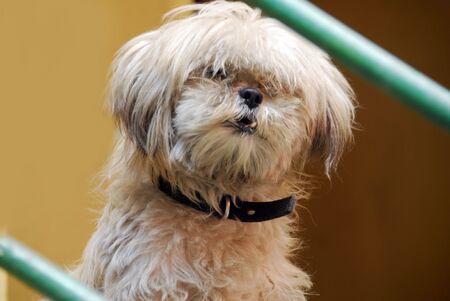 Een geïsoleerde shot van witte pomerian puppy hond Stockfoto - 5667886