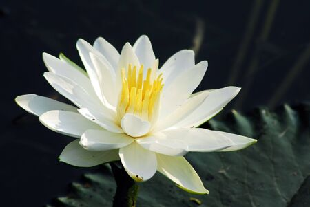 An isolated shot of white Water Lily Flower