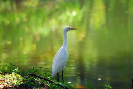 egrets: An isolated shot of a white egret bird Stock Photo