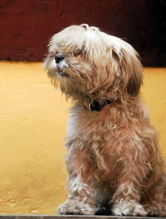 een geïsoleerde shot van witte pomerian puppy huis dier hond