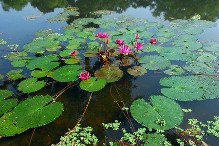 연못에서 자라는 핑크 수련 꽃의 고립 된 샷 스톡 콘텐츠