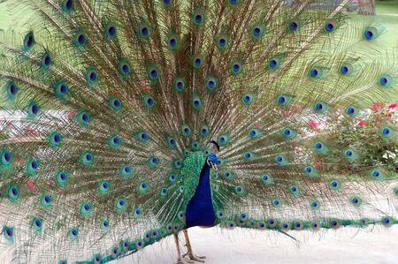 atraer: danza de aves de pavo real para atraer a una peahen
