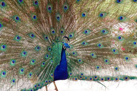 atraer: Danza del p�jaro de pavo real para atraer a una peahen