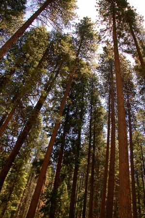 tall green sequoia trees in kings canyon national park california photo