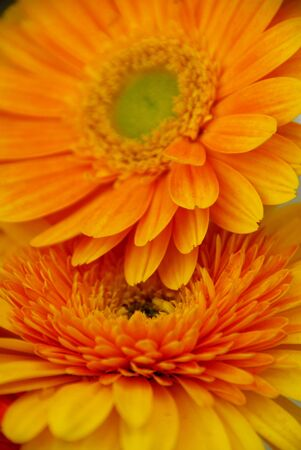 couple of yellow gerbera daisy flower couple photo