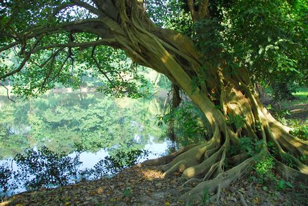 long hanging roots of an old banyan tree