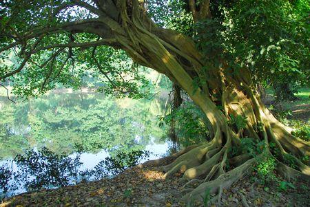 banyan: long hanging roots of an old banyan tree