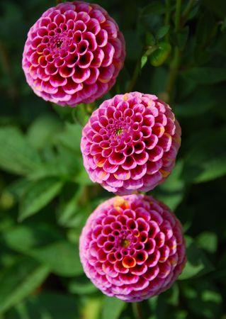 pompom: colpo isolato di rosa pompom dahila fiore