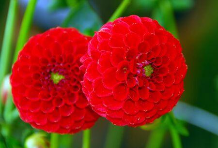 pompom: colpo isolato di pompom rosso dahila fiore  Archivio Fotografico
