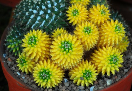 isolated closeup of yellow green cactus indoor plant Stock Photo - 7470400
