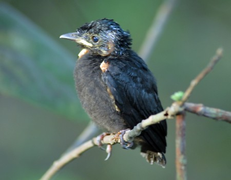 isolated closeup of a young black cuckoo bird animal