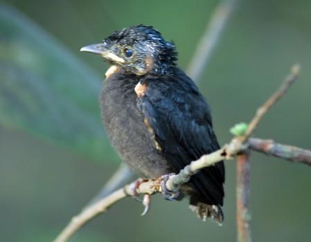 isolated closeup of a young black cuckoo bird animal