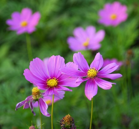 an isolated shot of Pink cosmos Flower Stock Photo