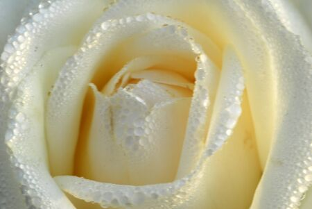 an isolated shot of White Rose Flower Archivio Fotografico