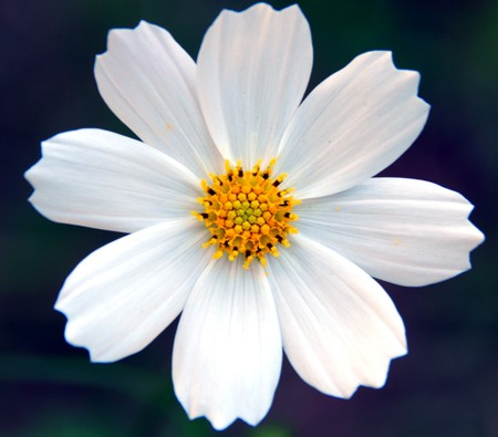 Eine isolierte Shot White Kosmos Flower  Standard-Bild - 7676520