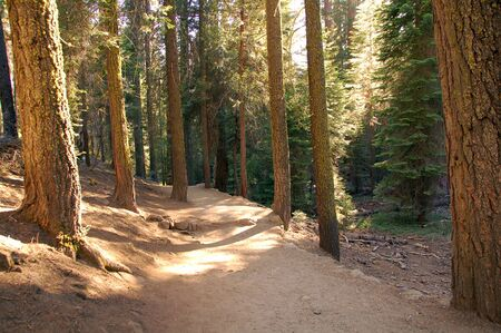 tall green redwood sequoia trees in kings canyon national park california photo