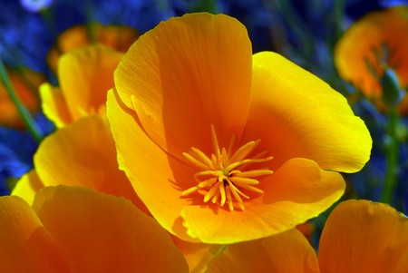isolated shot of a yellow california poppy flower Stock Photo - 7676694