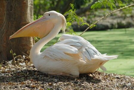 migratory: isolated shot of white migratory pelican bird Stock Photo