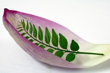 abstract shot of Pink Lotus Petal and Green CUrry Leaf photo