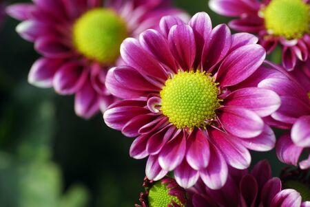 an isolated shot of pink purple daisy flower Stock Photo - 7677988