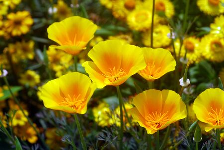 isolated shot of a yellow california poppy flower photo