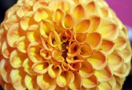 pompom: colpo isolato di pompom arancione dahila fiore Archivio Fotografico