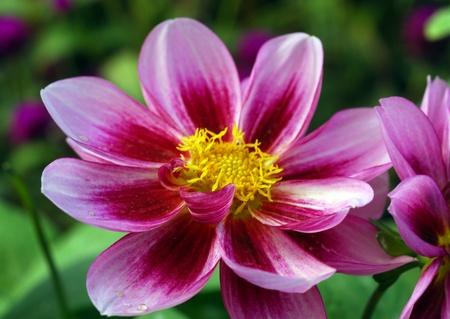 een geïsoleerde schot van Pink kosmos Flower