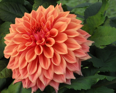an isolated shot of Orange Dahlia Flower