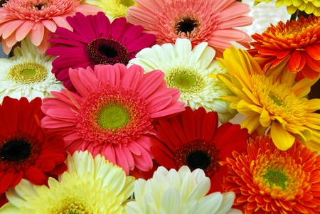 rear view of pink yellow red gerbera daisy flowers