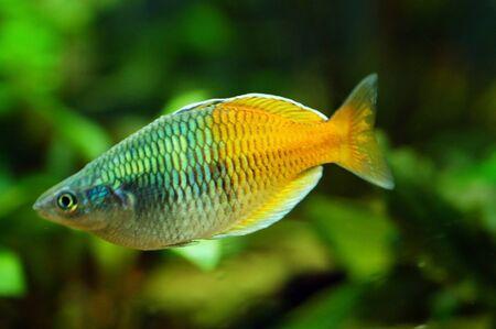 isolated Orange Fish swimming in an aquarium
