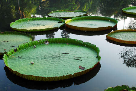 green disc shape water lily leaves in pond Stock Photo