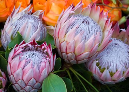 exotic rare hawaii Pink White Protea cynaroides Flower called Giant Protea, King Protea  Honeypot. Its the National flower of South Africa