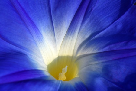 isolated shot of Blue Morning Glory Ipomea flower Stock Photo