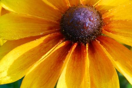 susan: isolated closeup of black eyed susan yellow rudbeckia flower