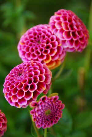 pompom: un alzato di pompom rosa dahila fiore Archivio Fotografico