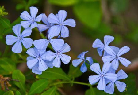 star shaped Vervain Blue Princess Verbena flower cluster Stock Photo