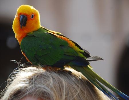 perico: closeup aislado de un ave de Perico verde amarillo Foto de archivo