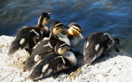 brown hairy newborn Mallard Duck babies near pond photo