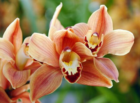 isolated closeup of red brown cymbidium Orchid flower