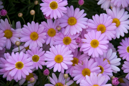 cluster of purple pink yellow Daisy Flowers in bloom