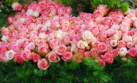 cluster of pink rose flowers over green grass Stock Photo