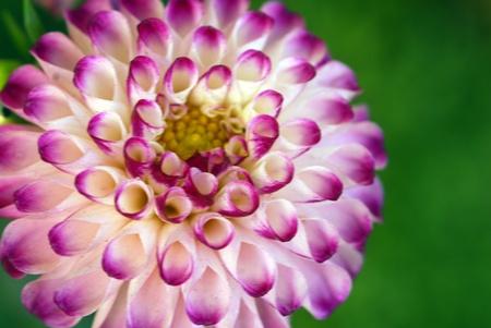 pompom: closeup isolato di fiore di pompon rosa dahila