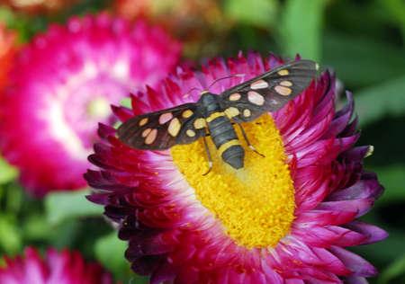 closeup of butterfly on Pink Paper daisy Strawflower flower