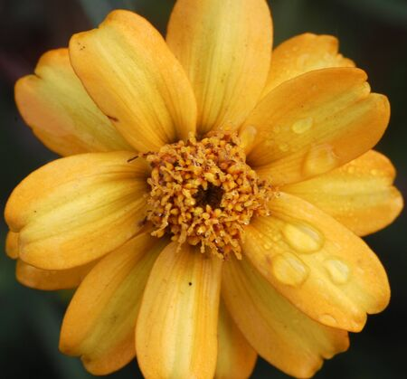 wet yellow marigold Flower with dewdrops photo