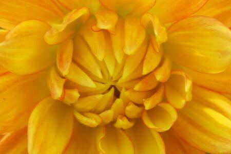 Orange yellow Dahlia Flower in bloom photo
