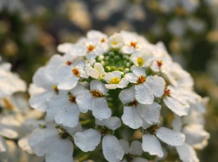dewdrops: white iberis sempervirens flower wet with dewdrops