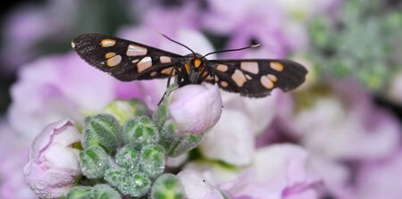 isolated closeup of butterfly on purple white Flower