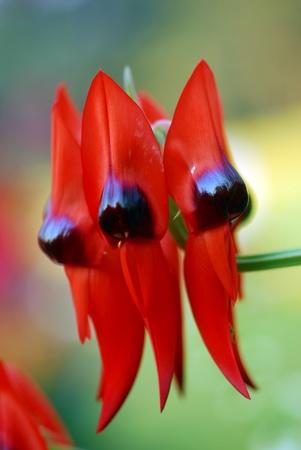 근접 촬영 pf 레드 블랙 Clianthus 사막 완두콩 꽃 스톡 콘텐츠