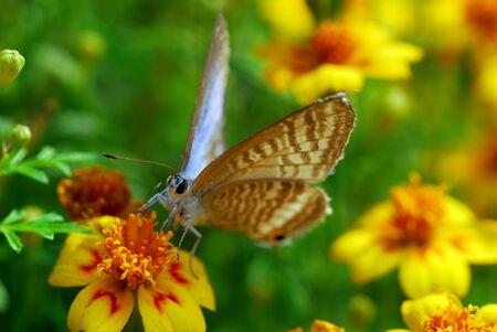 노란색 오렌지 메리 골드 꽃에 나비의 근접 촬영